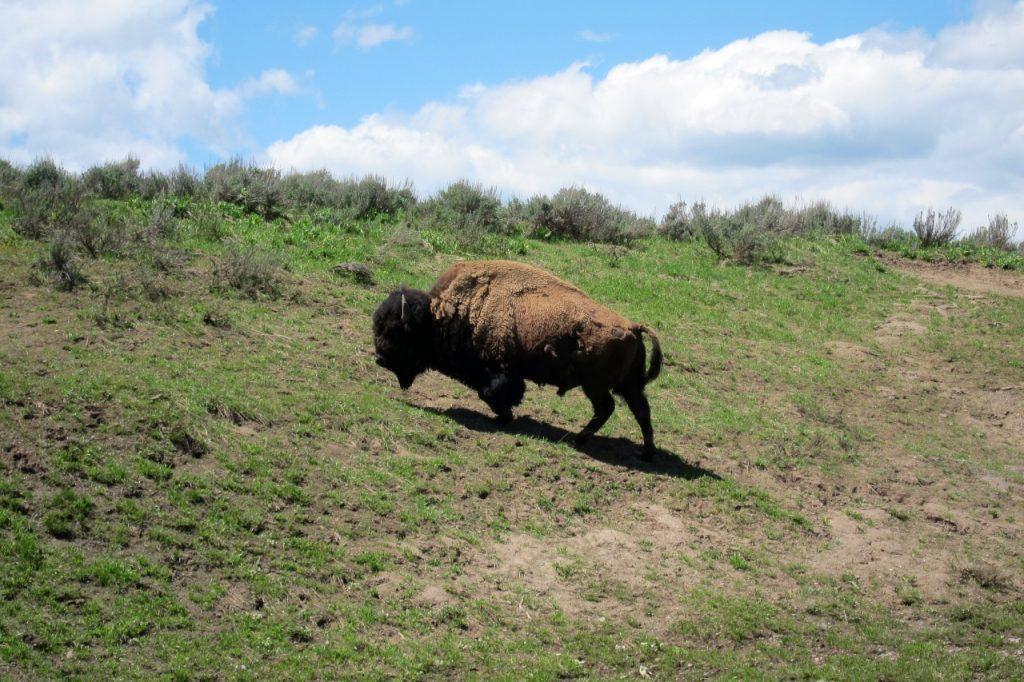 bizon tips om yellowstone te bezoeken