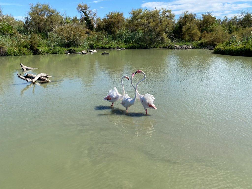 Camargue bezoeken tips flamingo's
